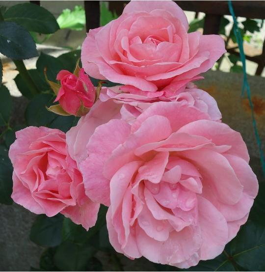 Flores Naturales Rosas Color Rosa Bernuy De Coca Segovia