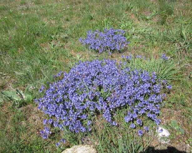 Flores Moradas En El Campo Arcones Segovia