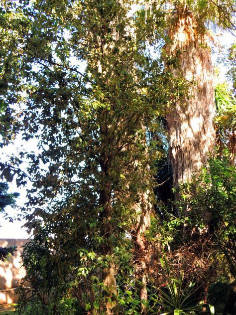 Rbol pica pica jard n bot nico san fernando c diz for Arboles jardin botanico