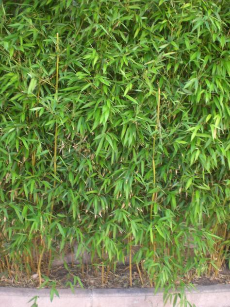 Peque o seto de bambu la nuez de arriba burgos - Seto de bambu ...