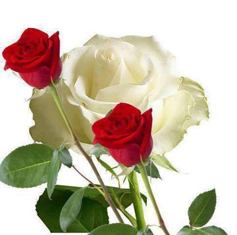 Flores Naturales Una Rosa Blanca Y Dos Rojas Bernuy De Coca Segovia