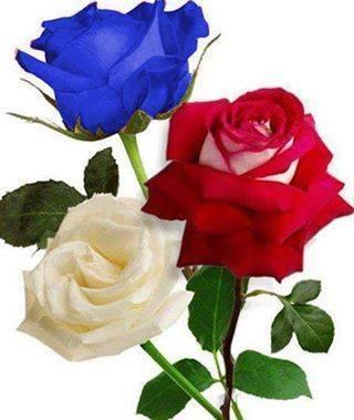 Fotos de rosas, im genes de rosas y 30