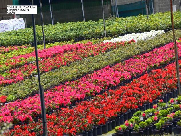 Viveros de plantas ornamentales en goi n goian pontevedra for Plantas de vivero