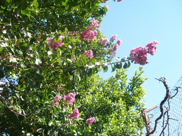 Rbol de flores rosas acebo c ceres - Arbol de rosas ...