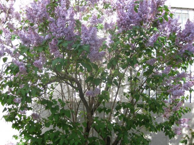 El lilo florecido (Jardines), NARROS DEL CASTILLO (Avila)