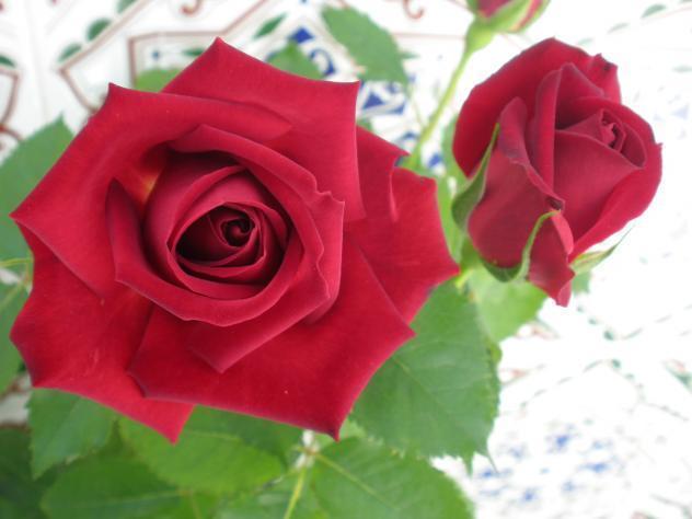 Bonitas Rosas Galisteo Cáceres