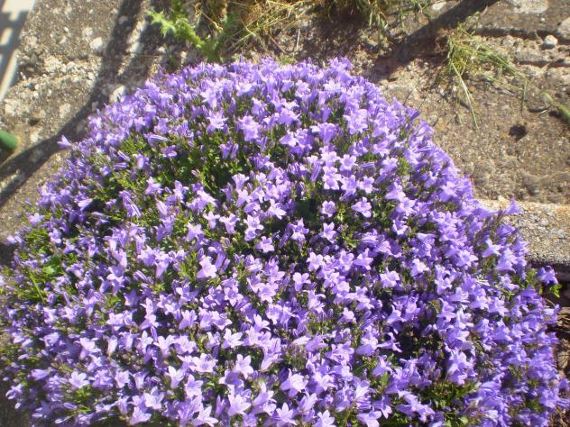 Flores Moradas San Millan De Juarros Burgos
