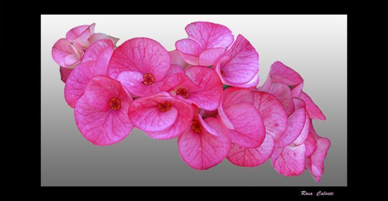 flores de primavera color fucsia, LA NUEZ DE ARRIBA (Burgos)