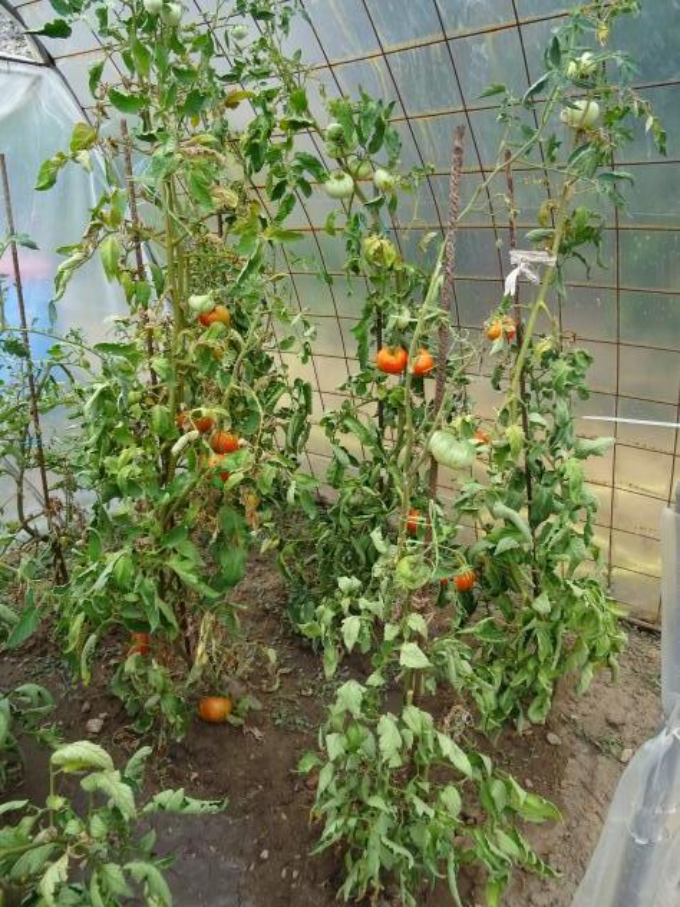 Plantas de tomate dentro del invernadero villanueva de Plantas de invernadero