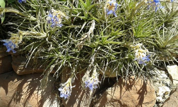 Planta del aire en flor, SANTA COLOMA DE FARNERS (Gerona)