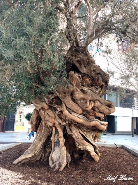 El olivo milenario palma de mallorca islas baleares - Muebles baratos palma de mallorca ...