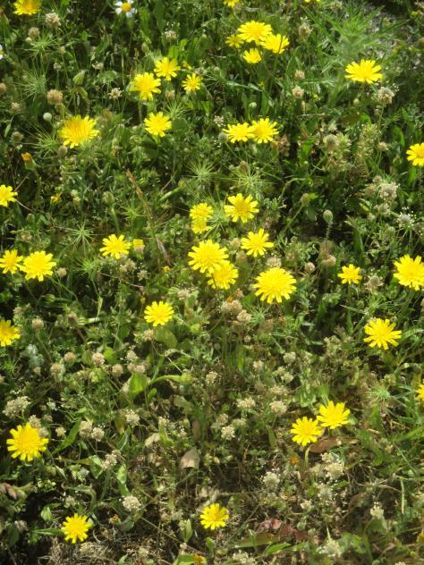 Flores Amarillas Silvestres Mazuecos Guadalajara