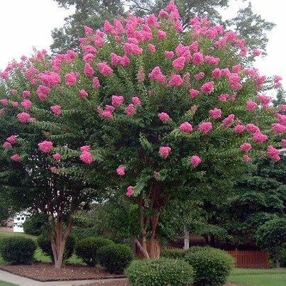 Bonito rbol de flores de mi jard n hinojal c ceres for Arboles con flores para jardin