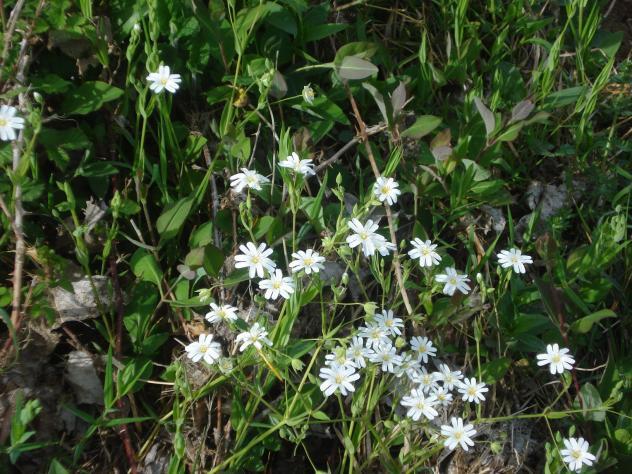 Flores Silvestres Blancas Villaferruena Zamora
