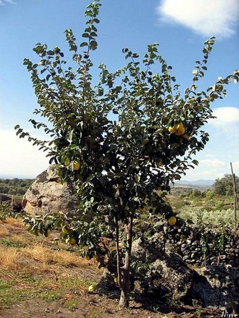Arbol del membrillo talaveruela c ceres - Membrillo arbol ...