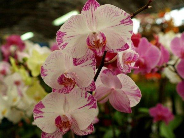 Flores, orquideas jaspeadas